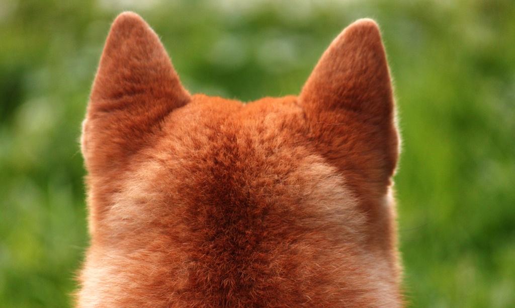 Собака породы сибу ино лицо криптовалюты Dogecoin